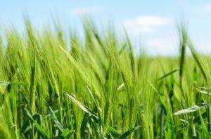 barley-872000_640
